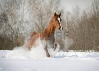 11384739-talon-arabe-dans-la-neige
